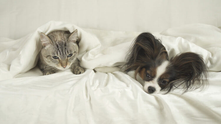 Papillon dog lying in bed under a duvet with a cat
