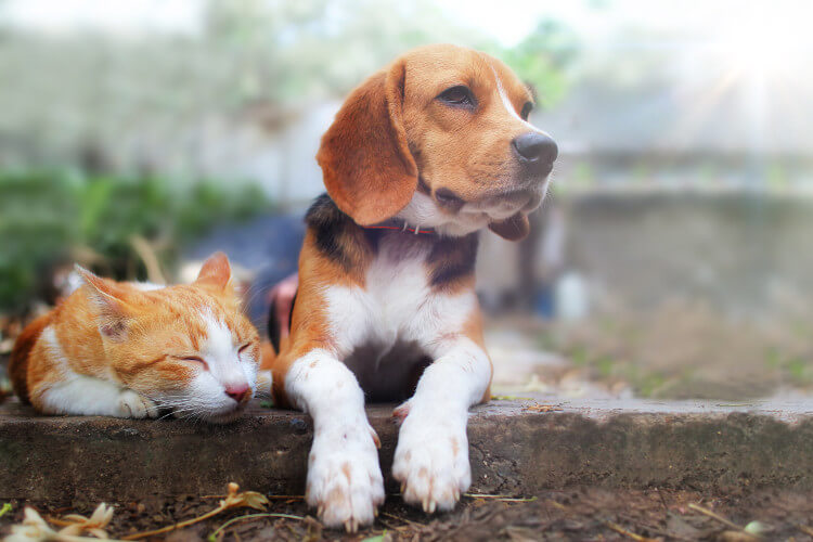 A beagle next to a ginger cat