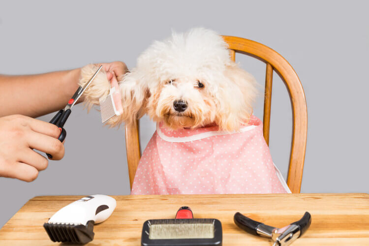 A white dog having its fur trimmed with scissors