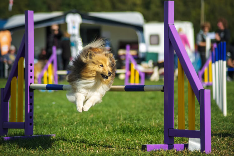 A collie dog jumping over a hurdle doing dog agility