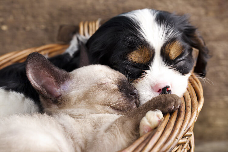 A Cavalier King Charles Spaniel and Siamese kitten cuddling in a basket
