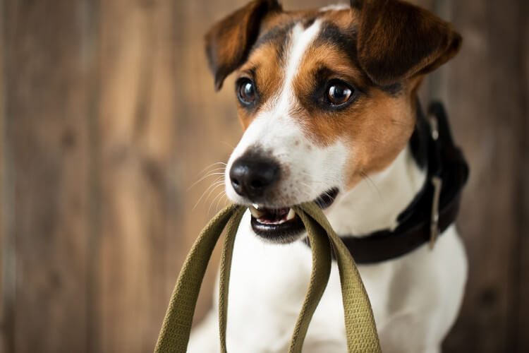 A Jack Russell dog with a lead in its mouth