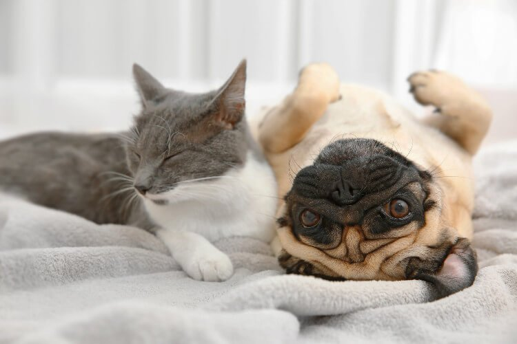 A pug lying on a bed with a grey and white cat