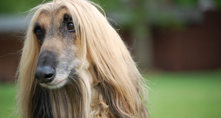 Afghan hound with long hair