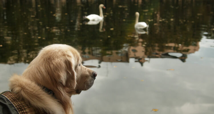 Dog staring at some swans in a pond