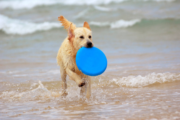 Dog playing with a frisbee on a beach in Wales