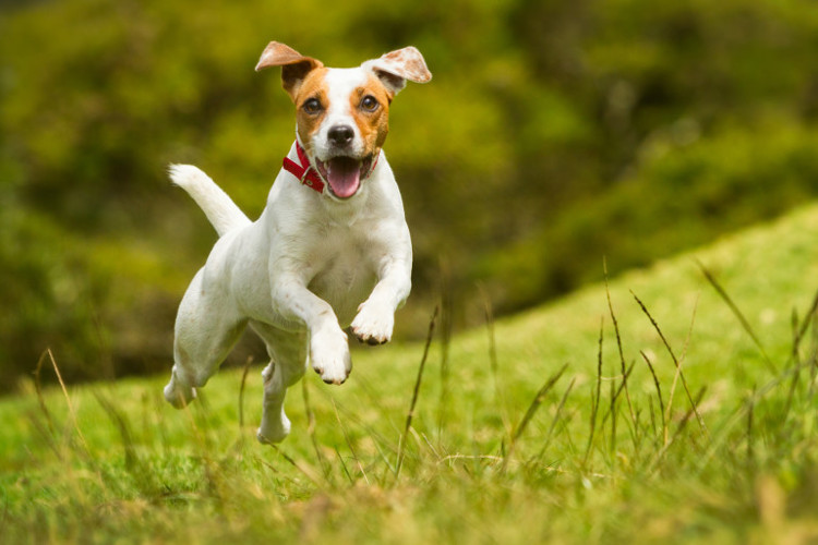 Happy Jack Russell jumping and playing in the park