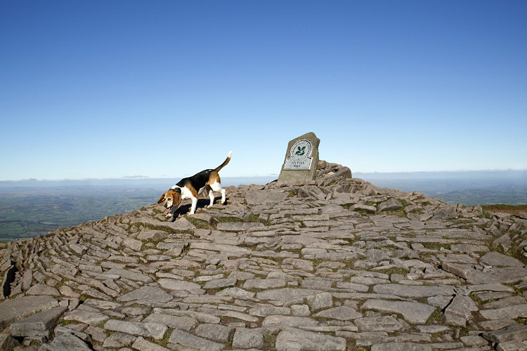 Dog walks up Pen y Fan