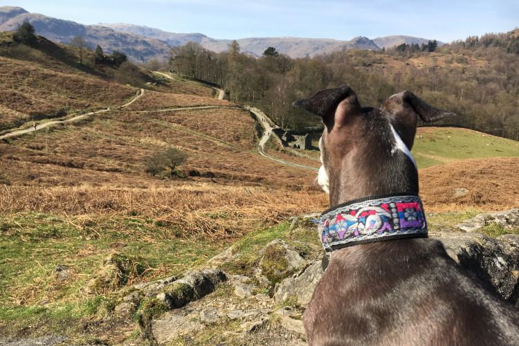 Dog looking over Rydal Water Cumbria