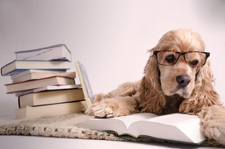spaniel reading a book