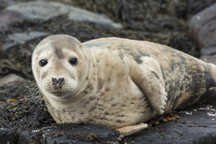 Grey seal pup on the Farne Islands