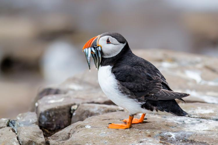 See puffins on the Farne Islands