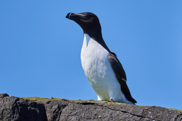 Razorbill on the Farne Islands