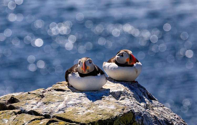 Puffins on Farne Island Northumberland