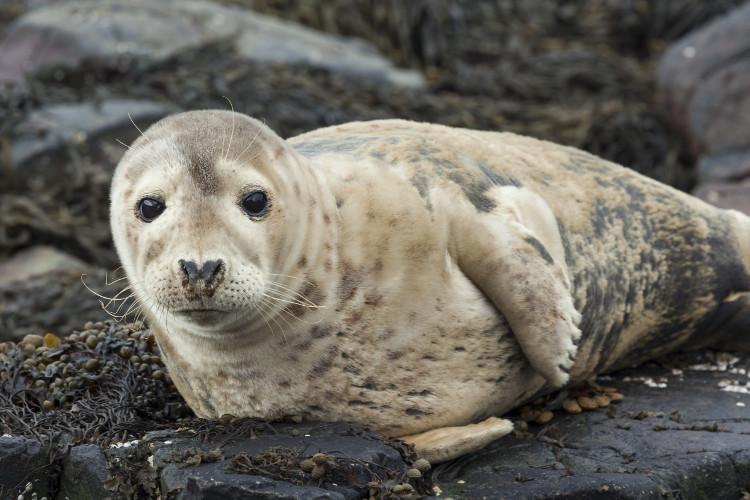 Grey seal on the Farne Islands