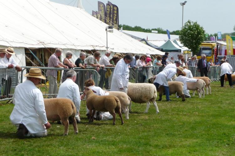 Sheep judging at the Dorset County Show