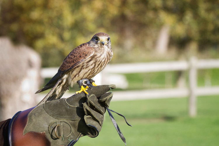 Watch falconry displays at the Stock Gaylard Oak Fair