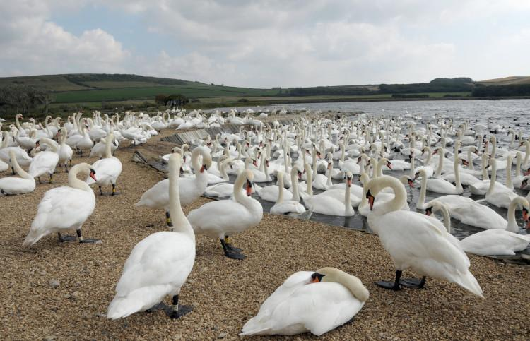Swans at Abbotsbury Swannery