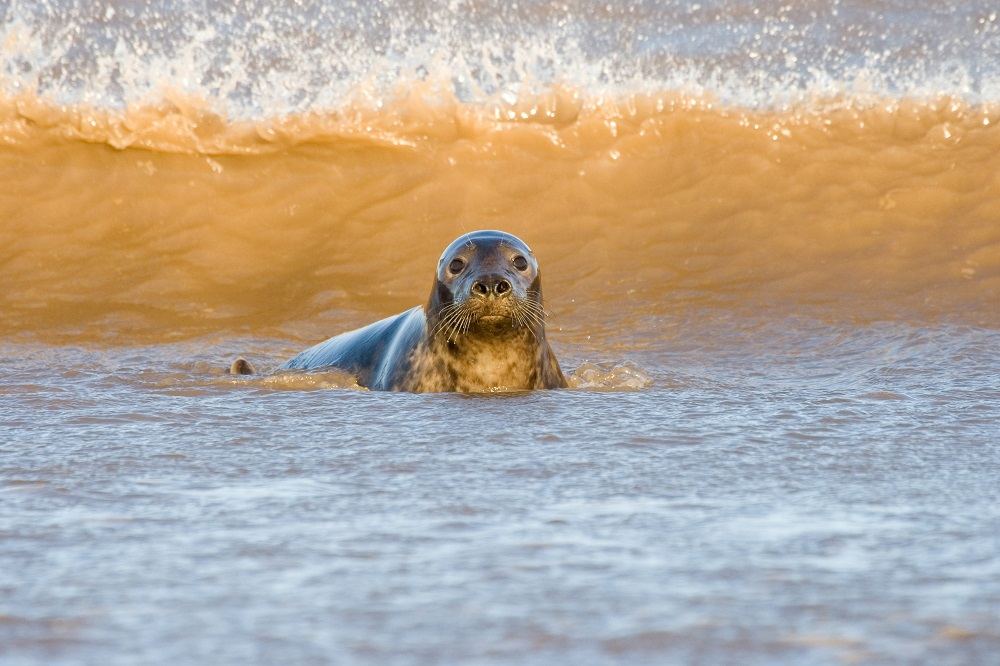 Adult Grey Seal Yorkshire Nature Triangle