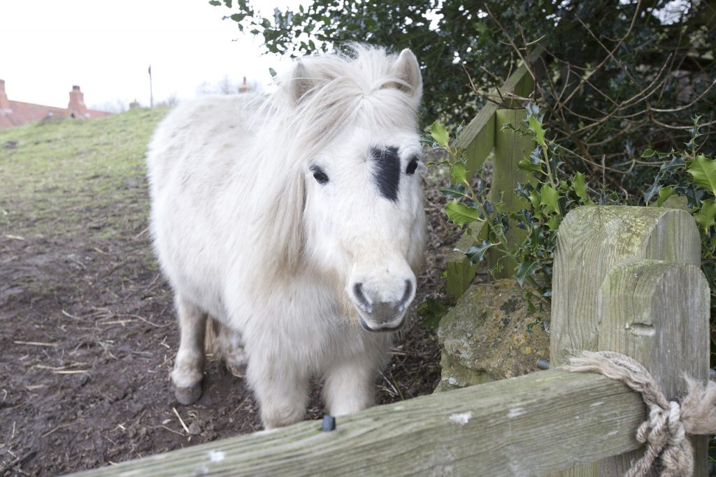 We love the Shetland ponies outside Blacksmith's Barn