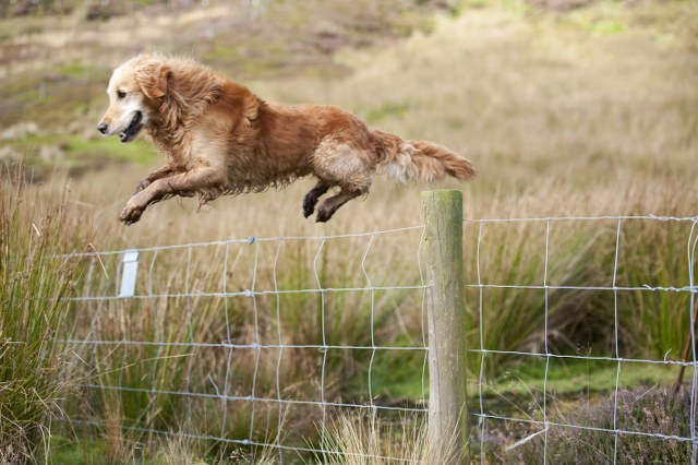 Dog jumping a fence in North York Moors