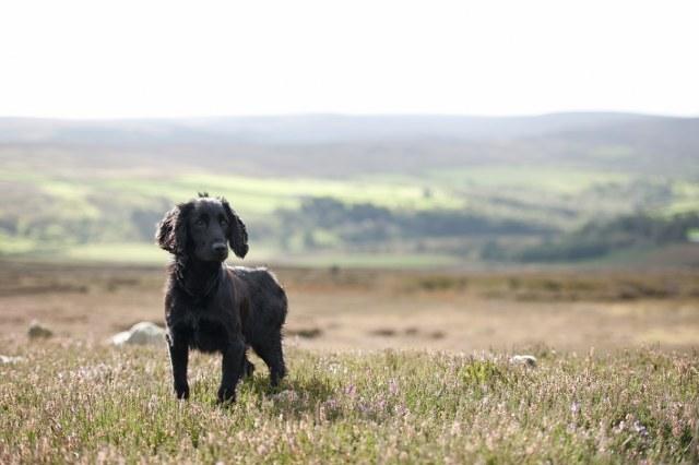 Dog in North York Moors