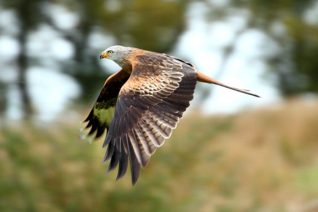 Scarah Cottage - Red Kite
