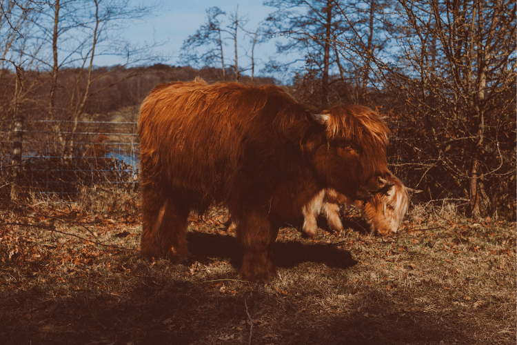 Spot some Highland Cows at the Sculpture Park - hide & sleep