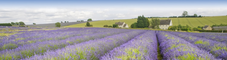 Cotswold Lavender, The Cotswolds