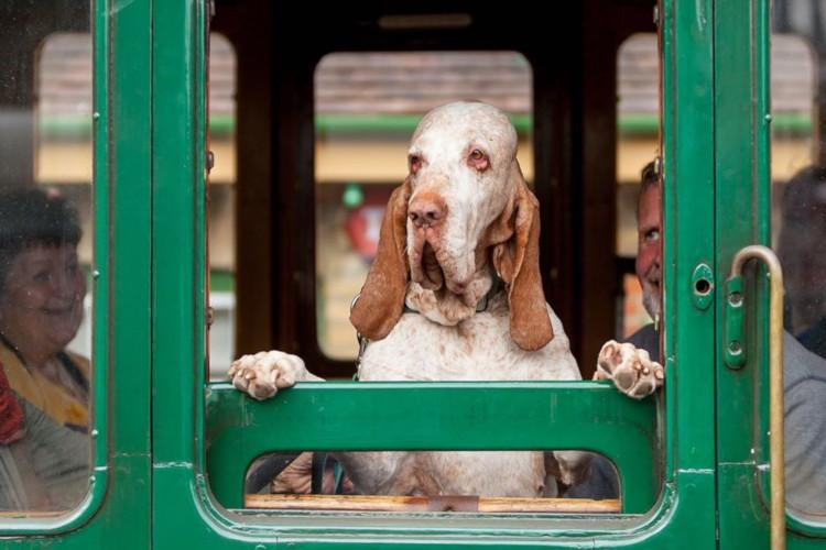 Dog on steam train