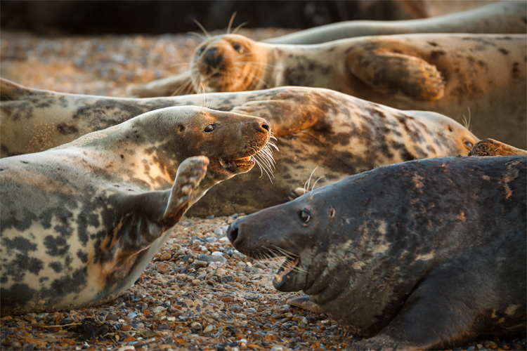 Blakeney Seal colony in Norfolk