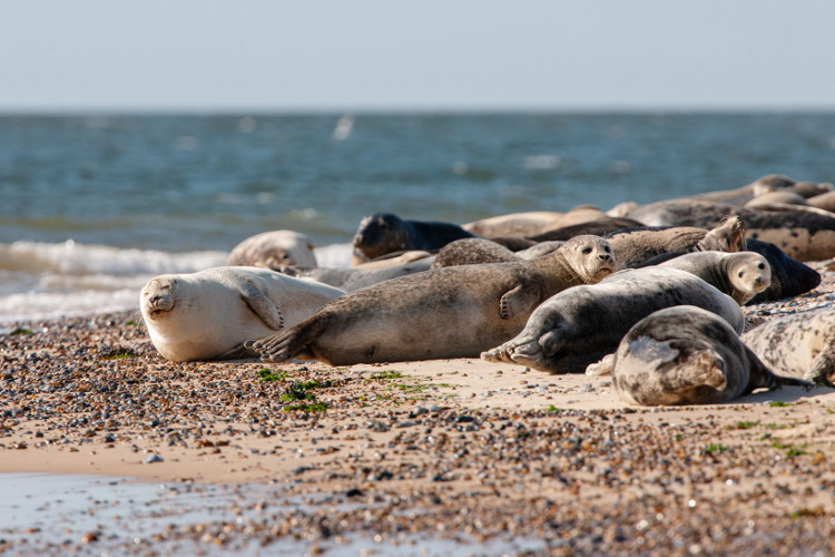 Blakeney Point seal boat trips in Norfolk