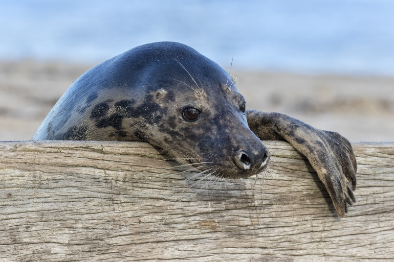 Grey seal at Blakeney Point in Norfolk