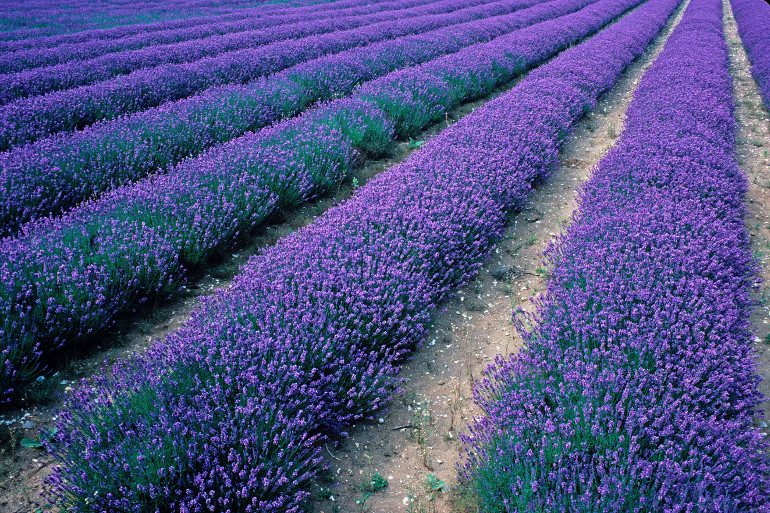Lavender Fields at Heacham in Norfolk