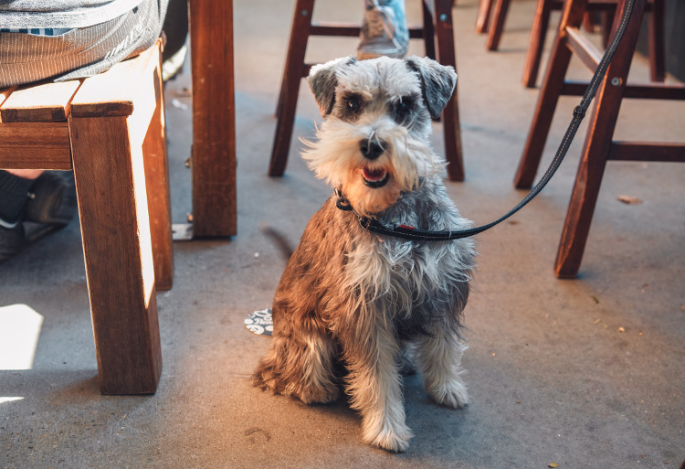 Smiling terrier in the pub
