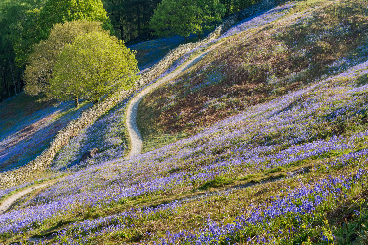 Bluebells in Lake District