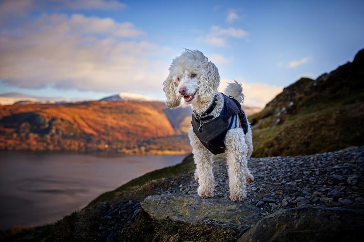 Poodle dog on Lake Derwentwater