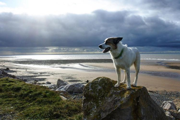 dog on rock on walney island