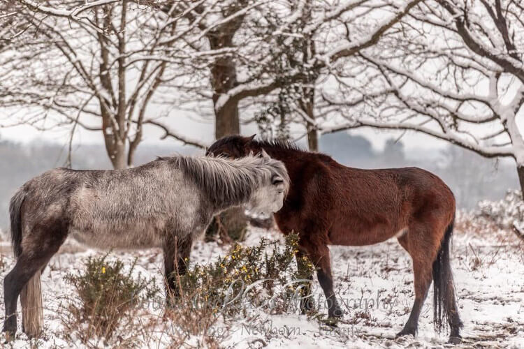 New Forest ponies in Burley