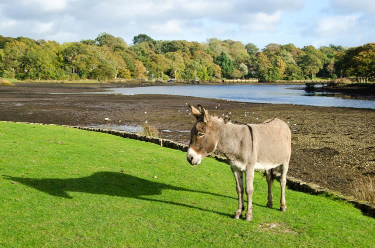 Beaulieu ponies grazing