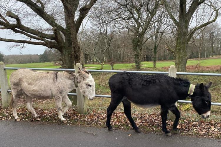 Donkeys on a walk in Burley New Forest