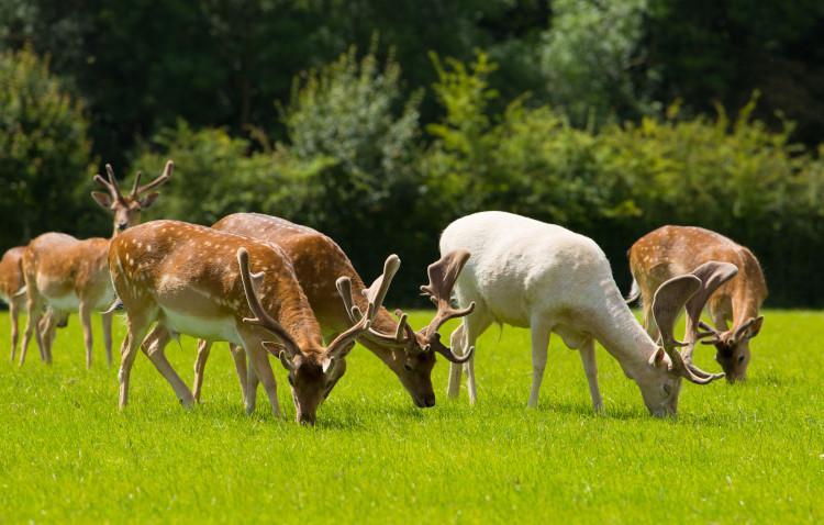 deer in lyndhurst