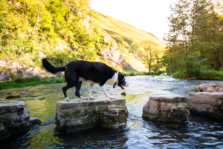 dog crossing stepping stones Dovedale