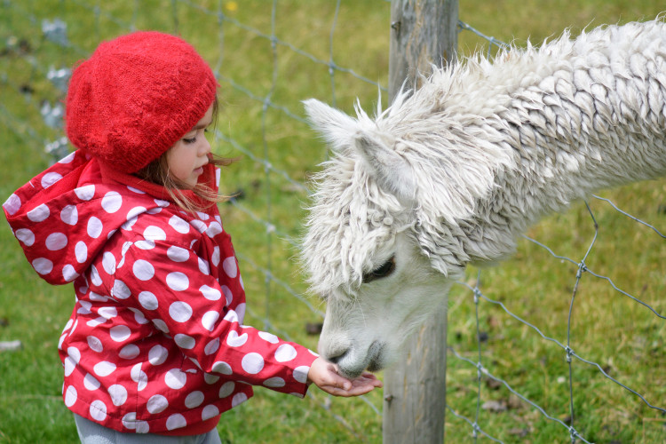 child feeding a llama