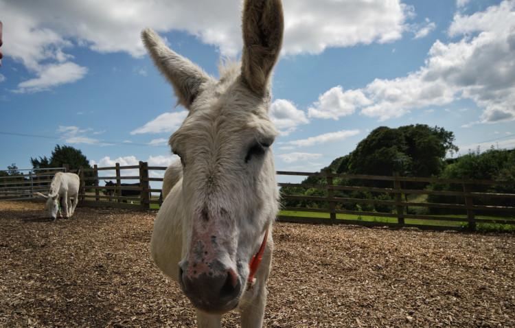 donkey at the donkey sanctuary