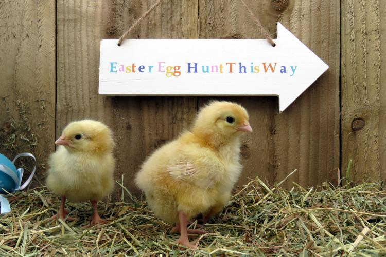 easter chicks and easter hunt sign