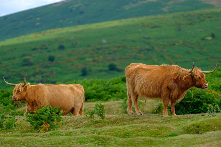 Highland cows in the Dartmoor National Park