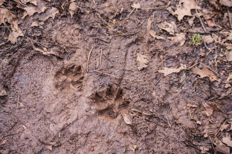 Dog footprints in the mud