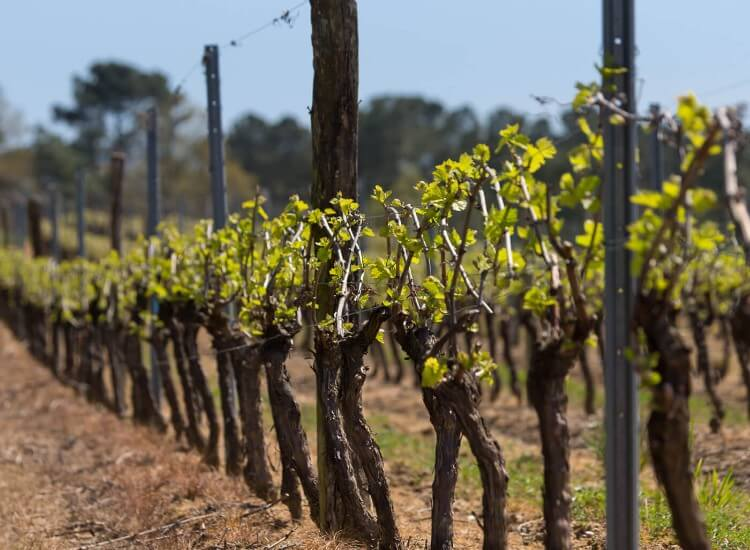 Gers vineyard