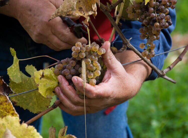Jurancon wine festival